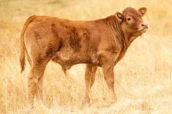 The Power of the Red Heifer